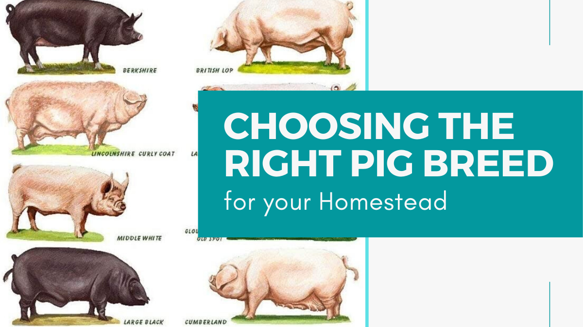 Choosing The Right Pig Breed For Your Homestead Modern Frontierswoman